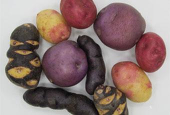 Commercial Potato Genetics