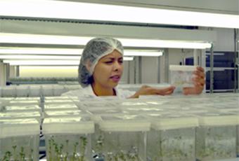 Propagating plants through tissue culture.