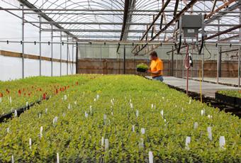 Haskap propagation greenhouse