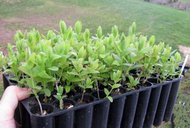 Seedlings plug tray