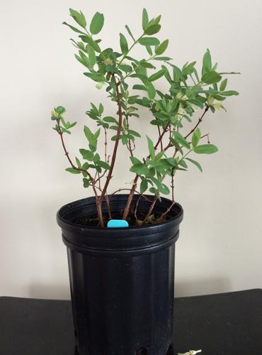 Seedlings one gallon pot