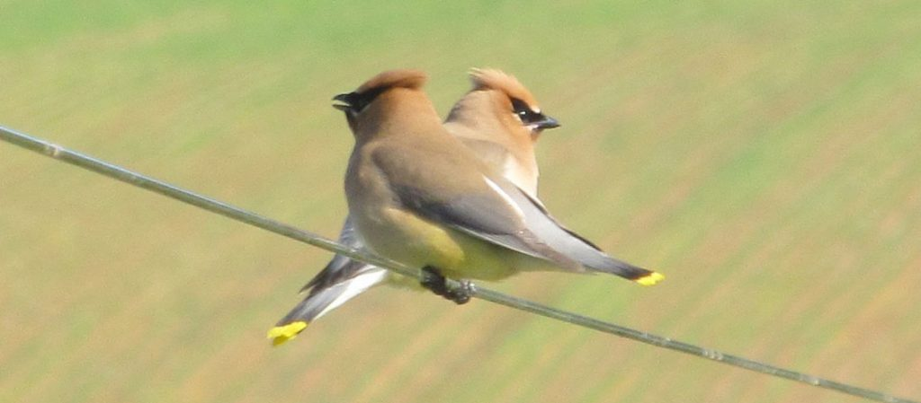 Cedar WaxWing berry eating birds