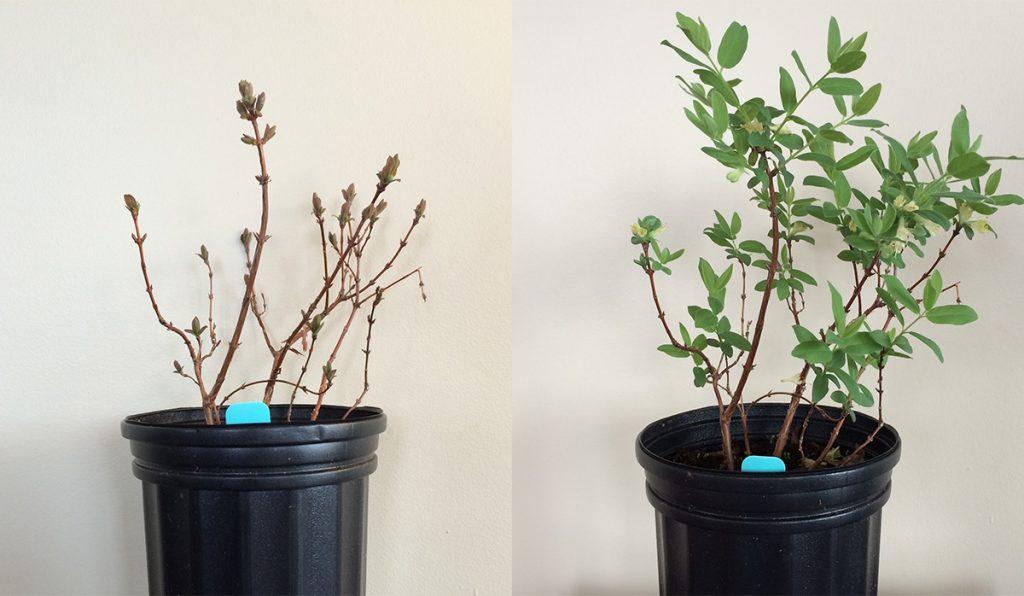 Haskap plant at 10 days